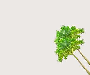 עץ דקל לגינה.jpg