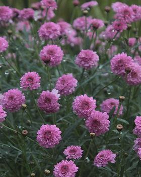 Fleurs pourpres