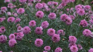 SF25 Purple Flowers