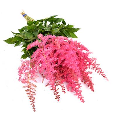 Астильба розовая (от 20 шт.)