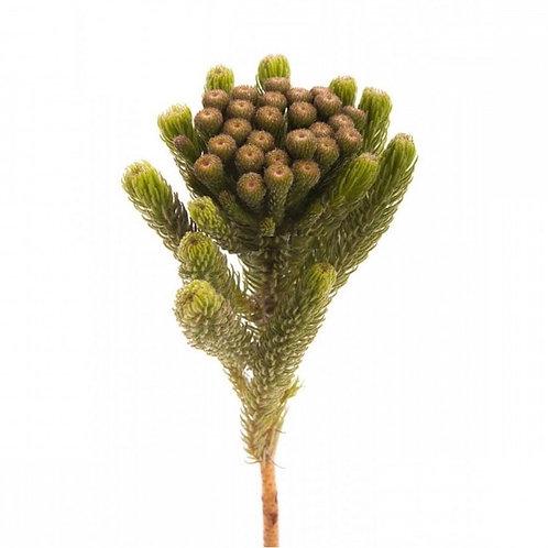 Бруния зеленая (от 10 шт.)