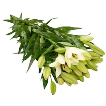 Лилии белые Азия (от 10 шт.)
