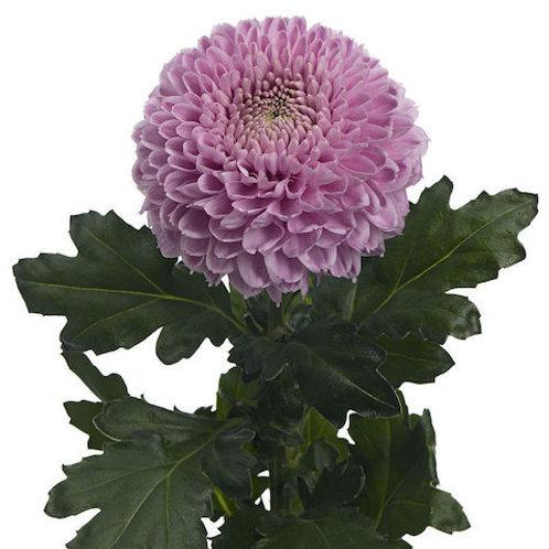 Хризантема розовая Антонов (от 10 шт.)