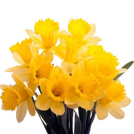 Нарциссы желтые (от 30 шт.)