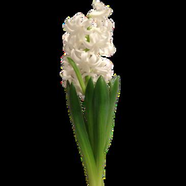 Гиацинты белые (от 25 шт.)