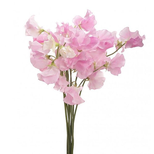 Латирус розовый