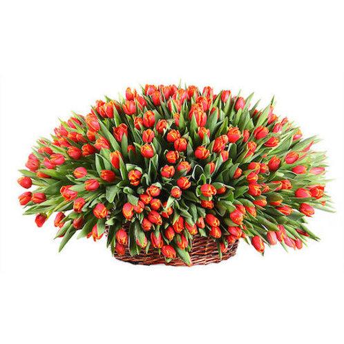 301 красный тюльпан в корзине