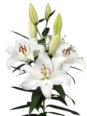 Лилия Восточная белая (от 10 шт.)