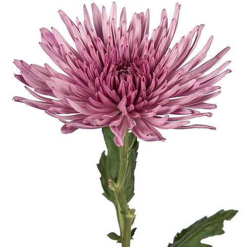 Хризантема одноголовая розовая Анастасия (от 10 шт.)