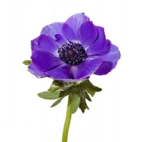 Анемоны фиолетовые (от 10 шт.)
