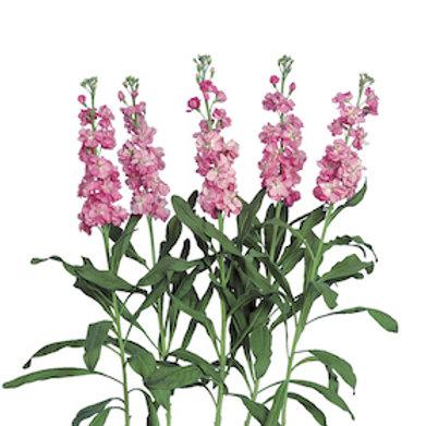 Маттиола розовая (от 20 шт.)