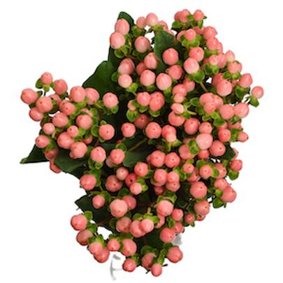 Гиперикум розовый