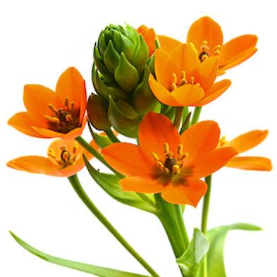 Орнитогалум оранжевый (от 20 шт.)