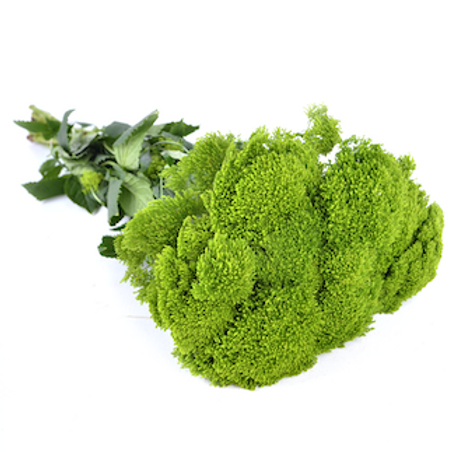 Трахелиум зеленый