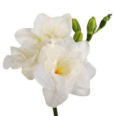 Фрезия белая (от 50 шт.)