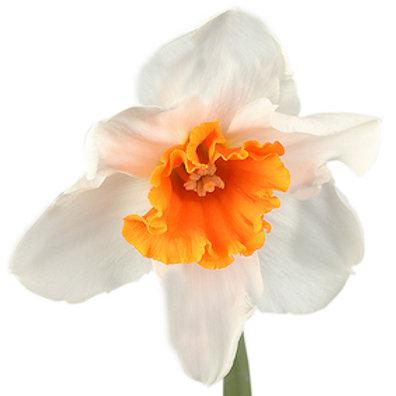 Нарциссы белые (от 30 шт.)