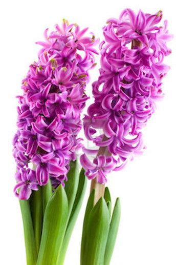 Гиацинты розовые (от 25 шт.)
