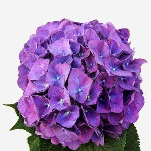 Гортензии фиолетовые