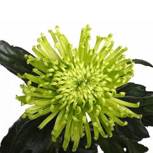 Хризантема одноголовая зеленая Анастасия (от 10 шт.)