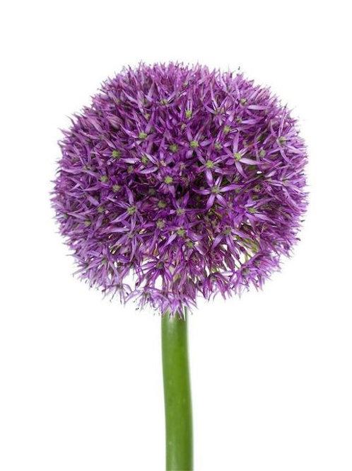 Аллиум фиолетовый