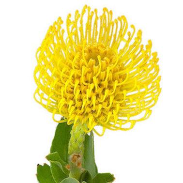 Леукоспермум желтый
