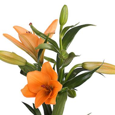 Лилия оранжевая Азия (от 10 шт.)