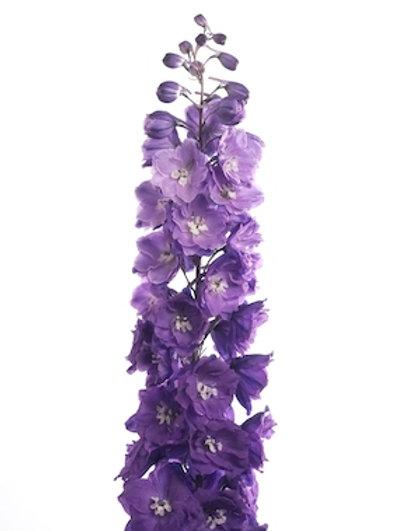 Дельфиниум фиолетовый (от 20 шт.)