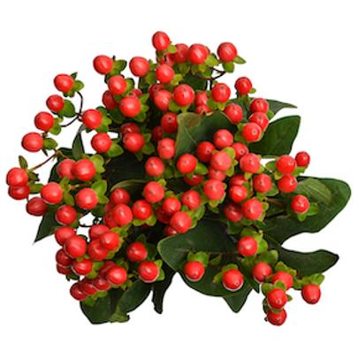 Гиперикум красный (от 10 шт.)