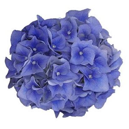 Гортензии синие (от 1 шт.)