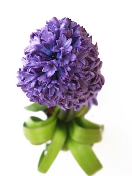 Гиацинты фиолетовые (от 25 шт.)