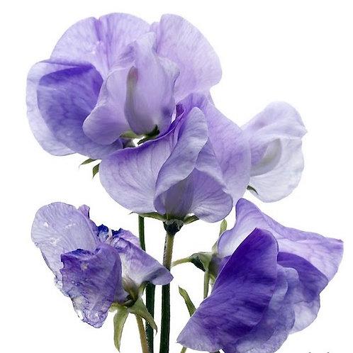 Латирус синий (от 20 шт.)