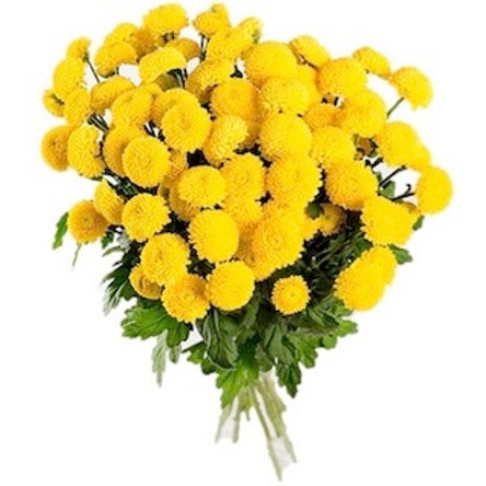 Хризантема кустовая Лимончелло (от 5 шт.)