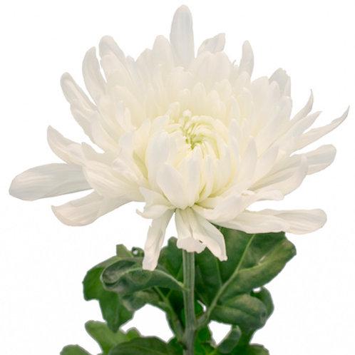 Хризантема одноголовая белая Анастасия (от 10 шт.)
