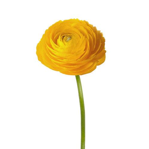 Ранункулюсы желтые