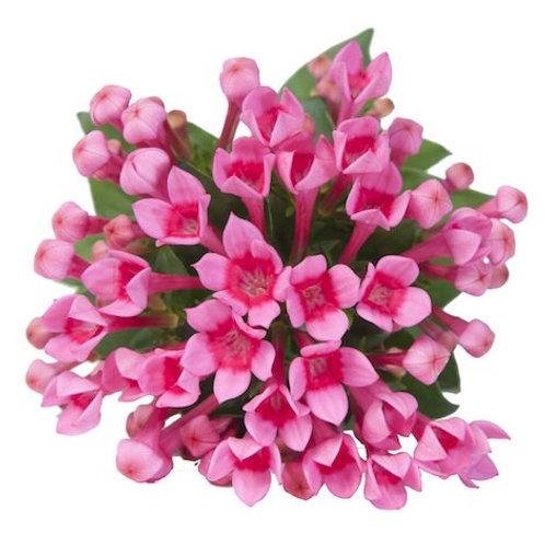 Бувардия розовая (от 10 шт.)