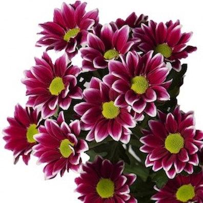 Хризантема кустовая сиреневая Гайдар (от 5 шт.)