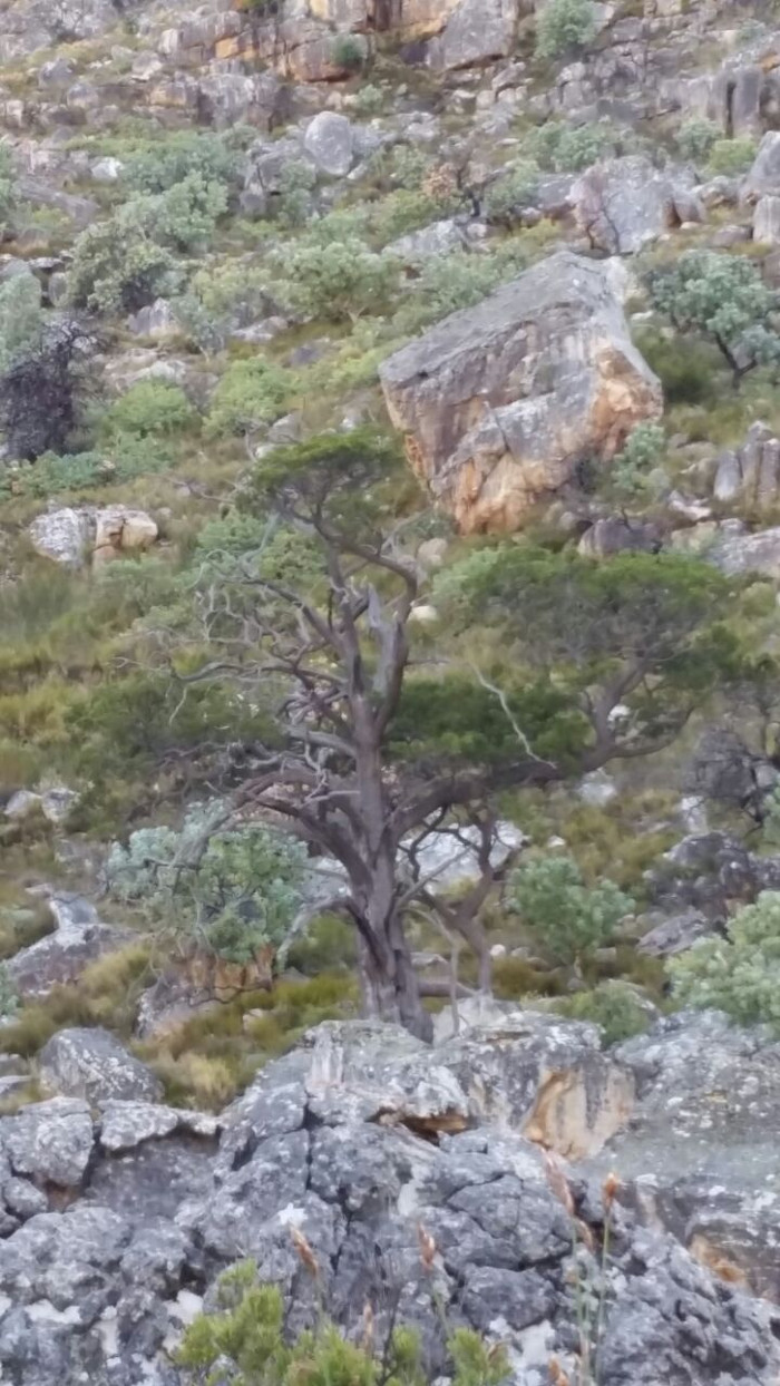 Mission – to plant trees in the Cederberg as part of a collaborative effort of JUST TREES and CAPE N