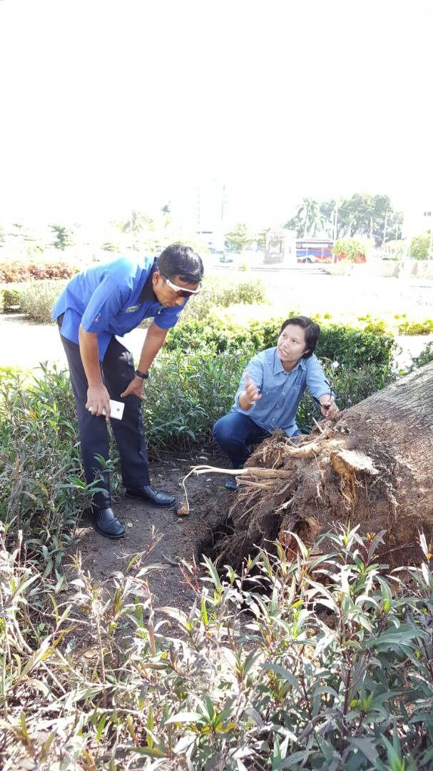 Ipoh Tree