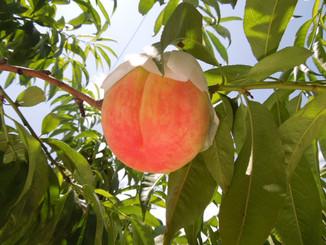 Choosing your dream peach