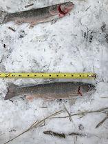 Tournament Lake trout