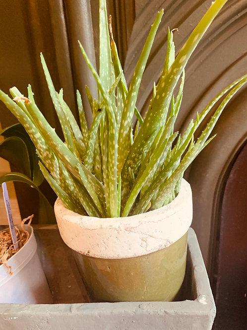 """4.25"""" Aloe"""