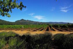 Napa Winery Landscape