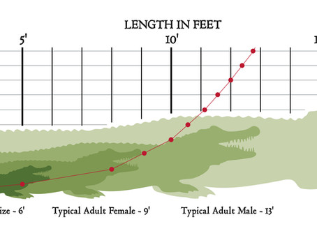 Alligator Length vs. Age