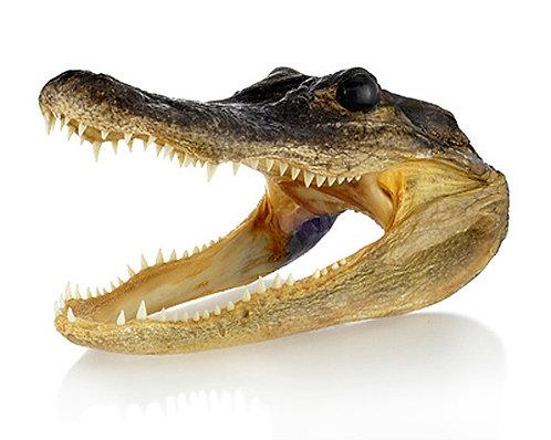 Real Alligator Head