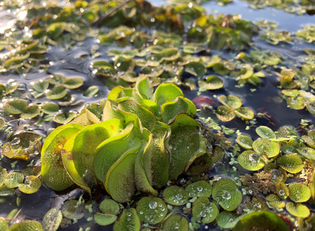 Giant Salvinia- One of Many Invasive Species