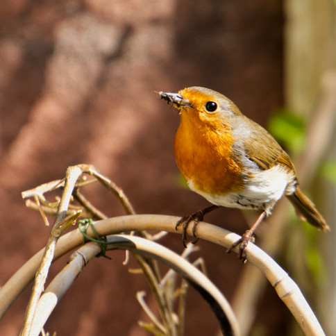 Robin with food for mate