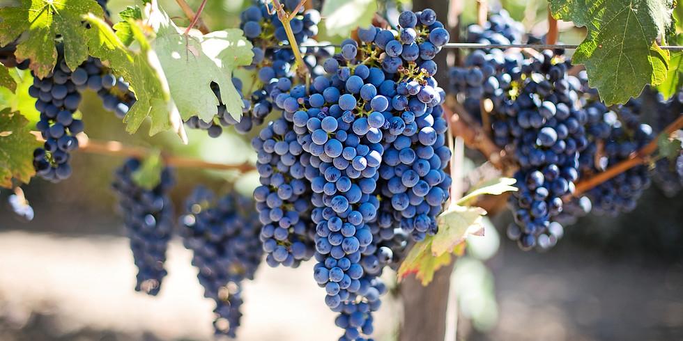 Grape Harvest - Sept 20, 2020