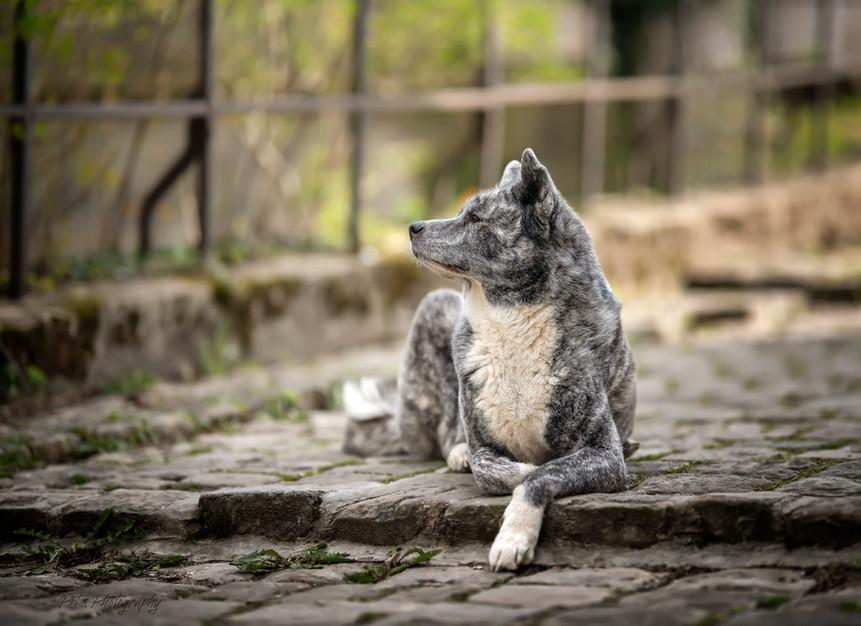 séance canine dans les ruelles de Châlons en champagne: AKITA INU