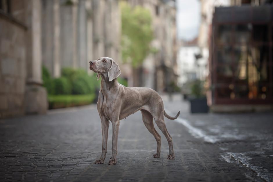 séance canine dans le vieux Troyes : BRAQUE DE WEIMAR