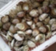 Kangaroo Island native Angasi oysters